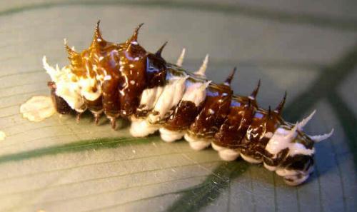 Papilio aegeus