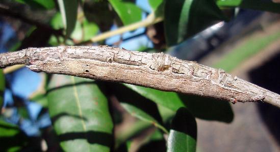 Ophiusa disjungens larva